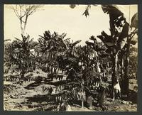 """[on verso]""""Costa Rica (#3338): two-year old coffee trees, Aragon"""""""