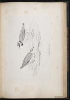 Little Ringed Plover, Pluvier petit-gravelot plate 55