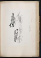 Common Ringed Plover, Pluvier grand-gravelot plate 54
