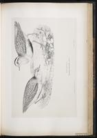 Eurasian Dotterel, Pluvier guignard plate 53
