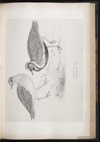 European Golden Plover, European Golden-Plover, Greater Golden-Plover, Pluvier doré plate 52