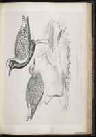 Black-bellied Plover, Grey Plover, Chorlo gris, Pluvier argenté plate 48