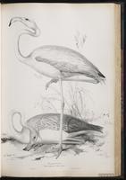 American Flamingo, Flamant des Caraïbes, flamant rose, Flamenco americano, Greater Flamingo plate 45
