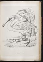 Eurasian Spoonbill, Spatule blanche plate 44