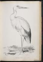 Maguari Stork plate 43
