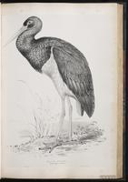 Black Stork plate 42