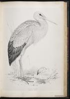 White Stork plate 41