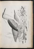 Black-crowned Night Heron, Black-crowned Night-Heron,Bihoreau gris, Pedrete corona negra plate 37