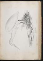 Cattle Egret, , Western Cattle Egret, Garza ganadera, Héron garde-boeufs plate 36