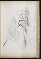 Little Egret, Aigrette garzett plate 35
