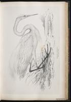 Great Egret, Grande Aigrette plate 34