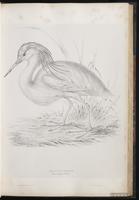 Squacco Heron plate 33