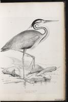 Purple Heron, Héron pourpré plate 32