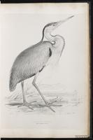 Gray Heron, Grey Heron, Héron cendré plate 31