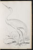 Siberian Crane, Siberian White Crane plate 29