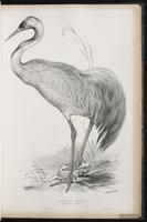 Common Crane plate 28