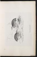 Common Buttonquail, Kurrichane Buttonquail plate 22