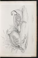 Barbary Partridge plate 19