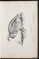 Red-legged Partridge plate 18