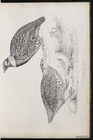 Francolinus vulgaris plate 17