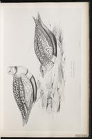 Black-bellied Sandgrouse plate 15