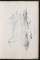 lagopède des saules, Willow Grouse, Willow Ptarmigan plate 14