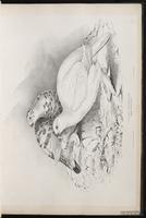 Willow Grouse, Willow Ptarmigan, lagopède des saules plate 13