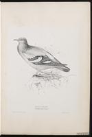 Common Pigeon, Paloma doméstica, pigeon biset, Rock Dove, Rock Pigeon plate 3