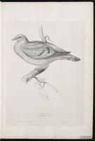 Stock Dove plate 2