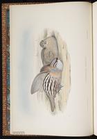 See-see Partridge plate 1