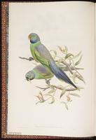 Layard's Parakeet plate 1
