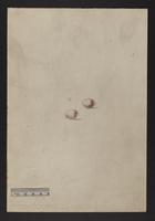 Malurus longicaudatus (eggs)
