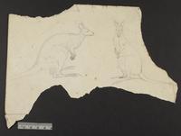 Unidentified bird drawing