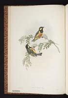 Tit Berrypecker plate 1