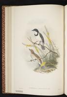 Wallacean Whistler plate 19
