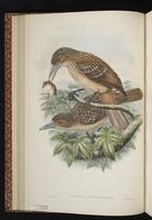 Black Butcherbird plate 16