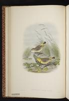 Yellow Chat plate 14