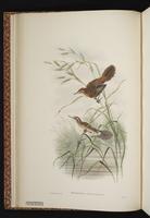 Fly River Grassbird plate 12