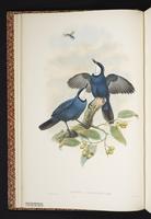 Blue Jewel-babbler plate 4