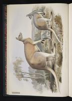 Red Kangaroo plate 2