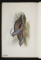 Ortyx plumifera plate 9