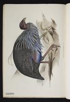 Numida vulturina plate 8
