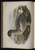 Greylag Goose plate 1