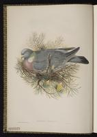 Common Wood Pigeon plate 1