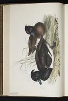 Tufted Duck, fuligule morillon plate 370