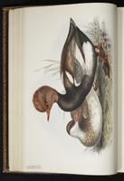Red-crested Pochard plate 369