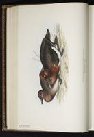 Ferruginous Duck plate 368
