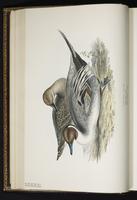 Northern Pintail, canard pilet, Pato golondrino plate 365
