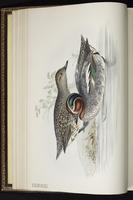 Eurasian Teal, Green-winged Teal, Cerceta ala verde, sarcelle d'hiver plate 362