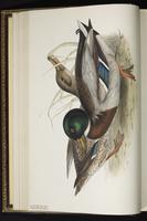 Mallard, canard colvert, Pato de collar plate 361